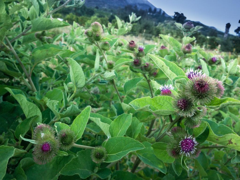 цветы репейника
